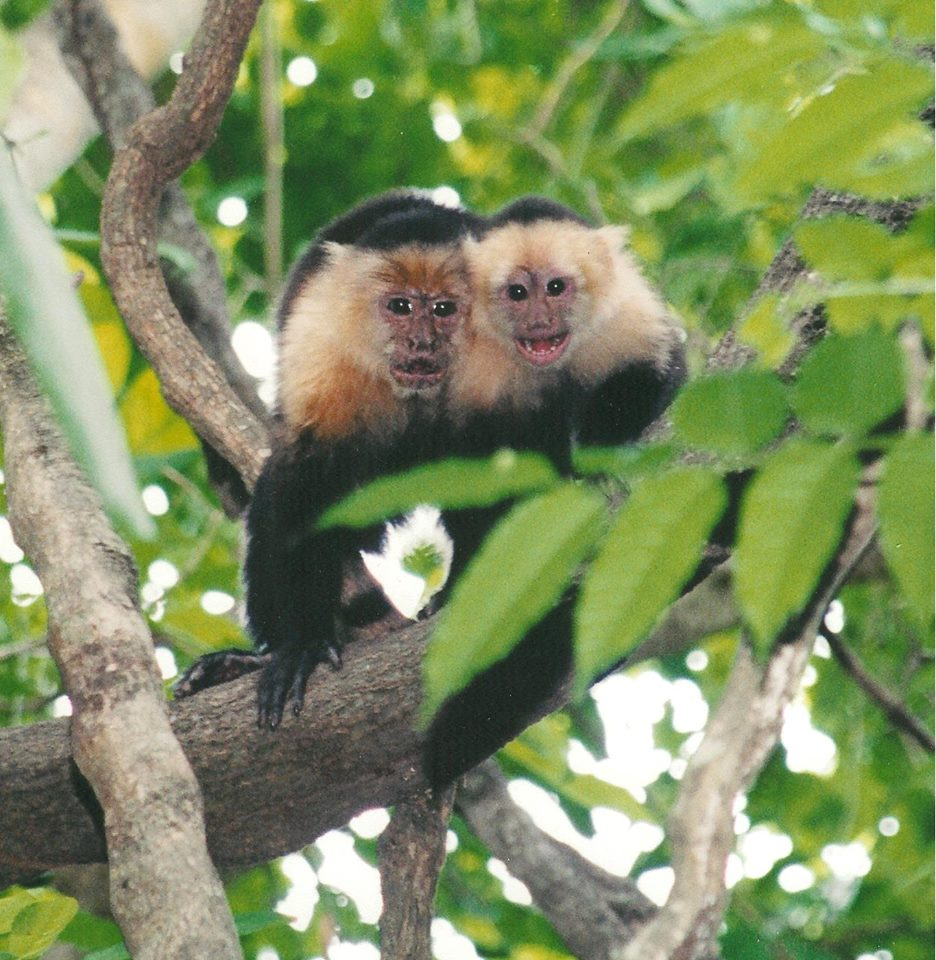 Mother and child, White-faced Capuchins in Costa Rica