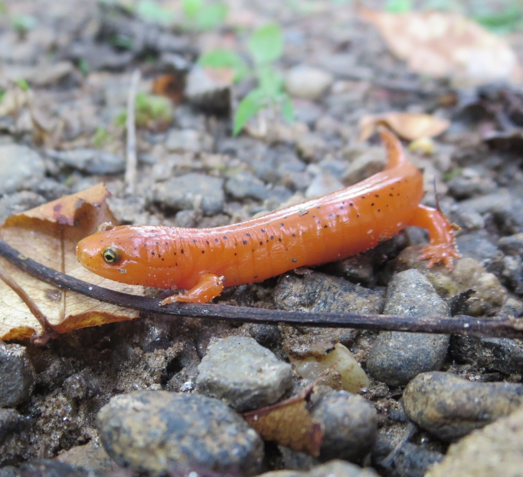 Pseudotriton ruber, Red Salamander, Sally Kneidel