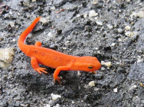 Red Eft, Sally Kneidel
